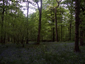 Bluebell wood Coniston