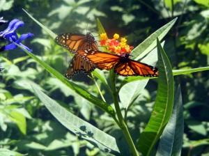 Butterflies Tree Hill