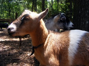 Goats Tree Hill