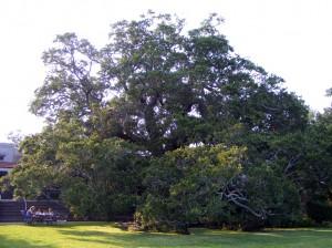 Cummer Oak